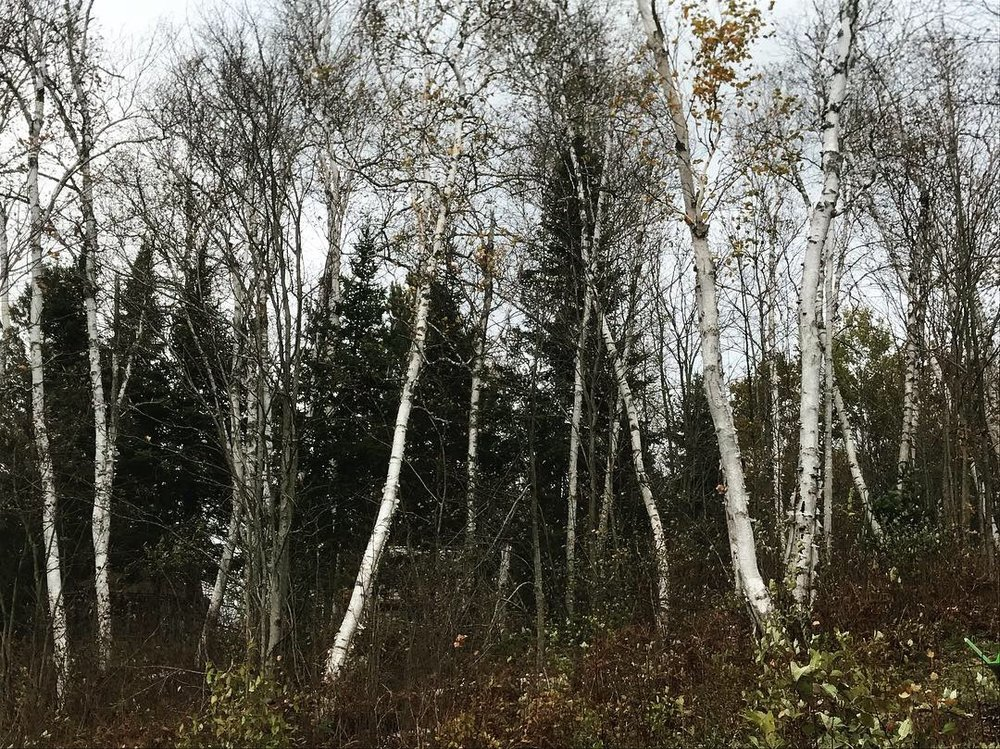 One thing that really excited me about this property was the incredible number of Birch Trees everywhere. I am in love with Birch Trees and our new property has at least forty of them!