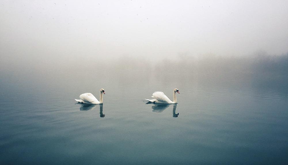 """""""Swans II"""""""