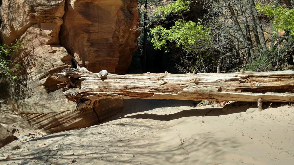 Massive tree log, new since last hike.