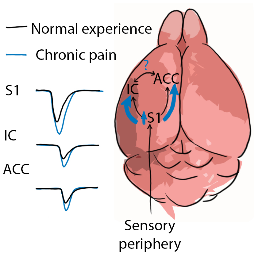 Unlearning chronic pain - The power of the brain lies in its ability to learn, and it retains this capacity throughout adulthood. Yet this very ability is the basis for many neurological diseases. Pathological states can be learned by the network: for example, elevated activity learned by various pain pathways result in chronic pain sensation, even in the absence of noxious stimuli. But what can be learned can be unlearned. This proposal of a novel therapy was awarded the Regeneron Prize for Innovation in Biomedicine for utilizing the brain's endogenous capacity for learning to re-train healthy function in neuropathic pain disorders.