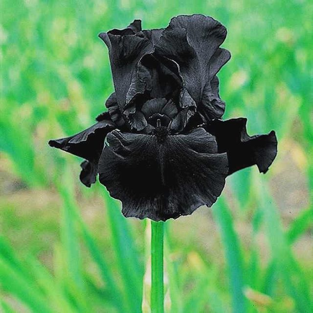 Stop and smell the Irises! A reminder that black grows and flourishes in different shapes and shades! . . . . . . . . #panafrique #panafrican #artist #iris #blackisbeautiful #melaninpoppin #blackflorist #blackcreatives #blackflowers
