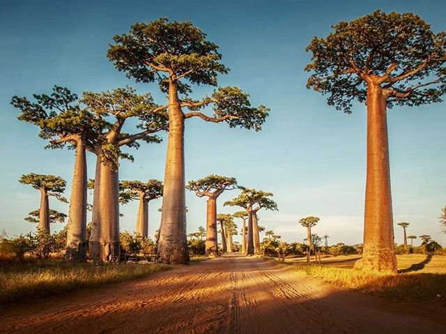 The baobab tree, also known as the Tree of life, can live thousands of years. Some speculate up to 5,000 years. The baobab fruit and tree bark are rich in vitamins and antioxidants. They have been used as medicine and food for years. It has been hailed the new superfood. They can be found in Madagascar, South Africa, Angola, Zimbabwe and more. The tree trunk can store up to 32,000 us gallons or 120,000 litres ! Do you eat or drink baobab? . . . . . . . . . . . #panafrique #panafrican #superfood #foodie #baobab #afropolitan #blackentrepreneur #healthyfood #healthyrecipes #blackisbeautiful #madagascar #superfood #angola #zimbabwe