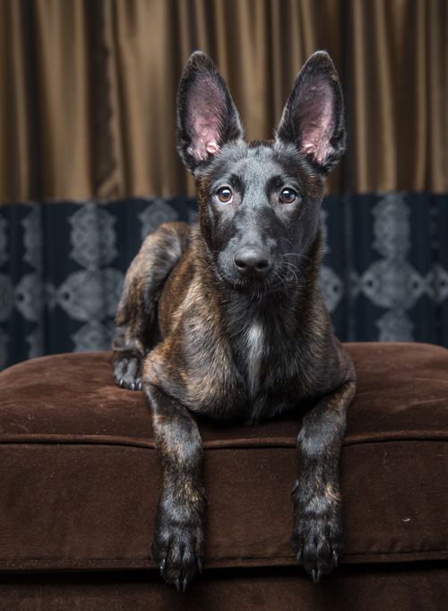 Aitana Dutch Shepherd Puppy Session Bark Gallery Las Vegas Pet