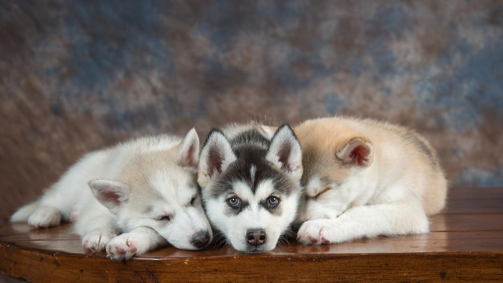portrait-las-vegas-puppy
