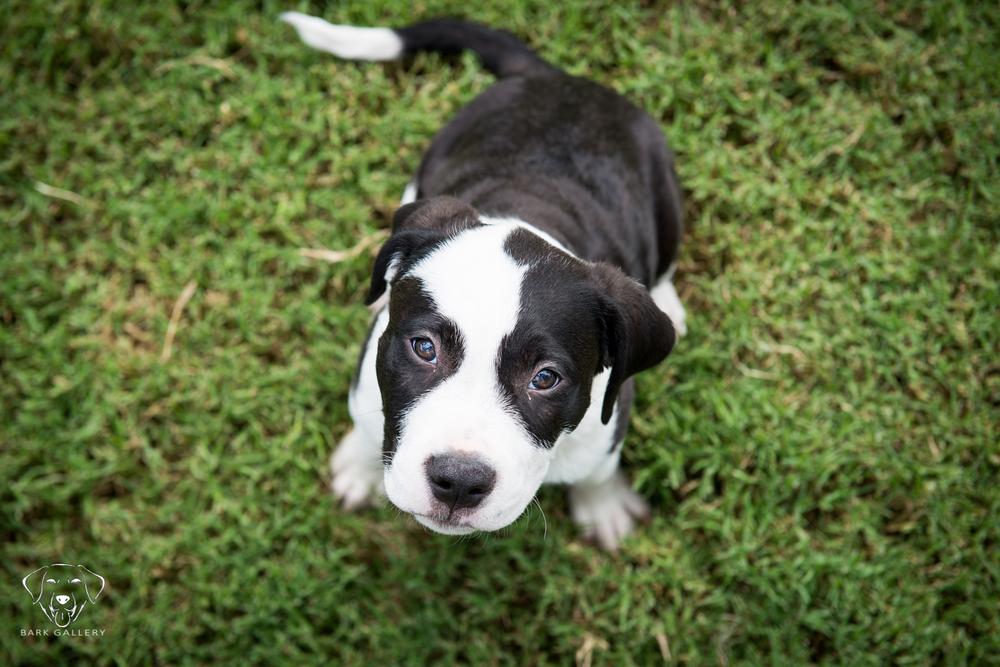 Pitbull Puppy Portrait Las Vegas