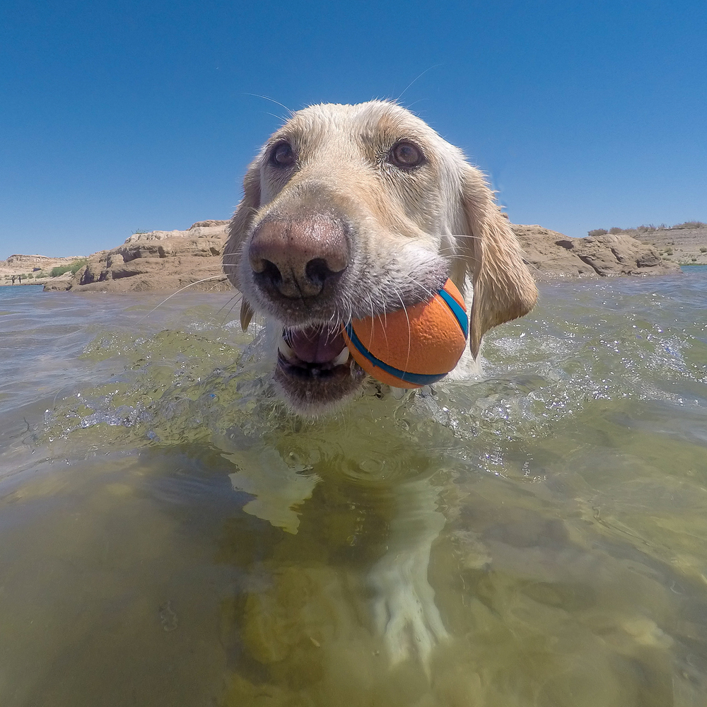 Bear with his Chuckit Ball at Lake Mead.