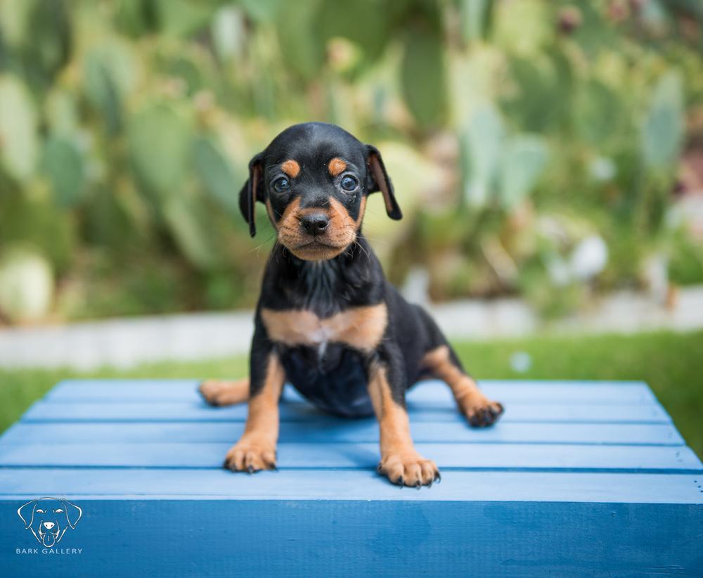 puppy-photo-vierkandt-photography