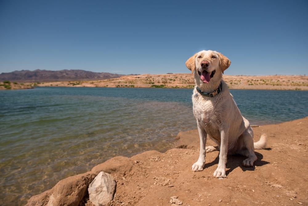 Bear- Bark Gallery Mascot - Swimming at Lake Mead