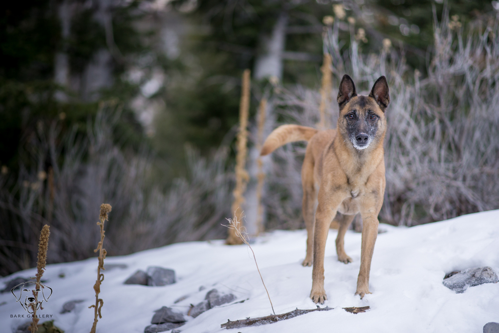 snow-portrait-las-vegas-dog-photographer