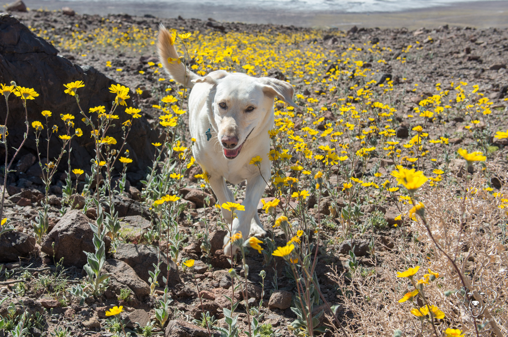 superbloom-dog-death-valley