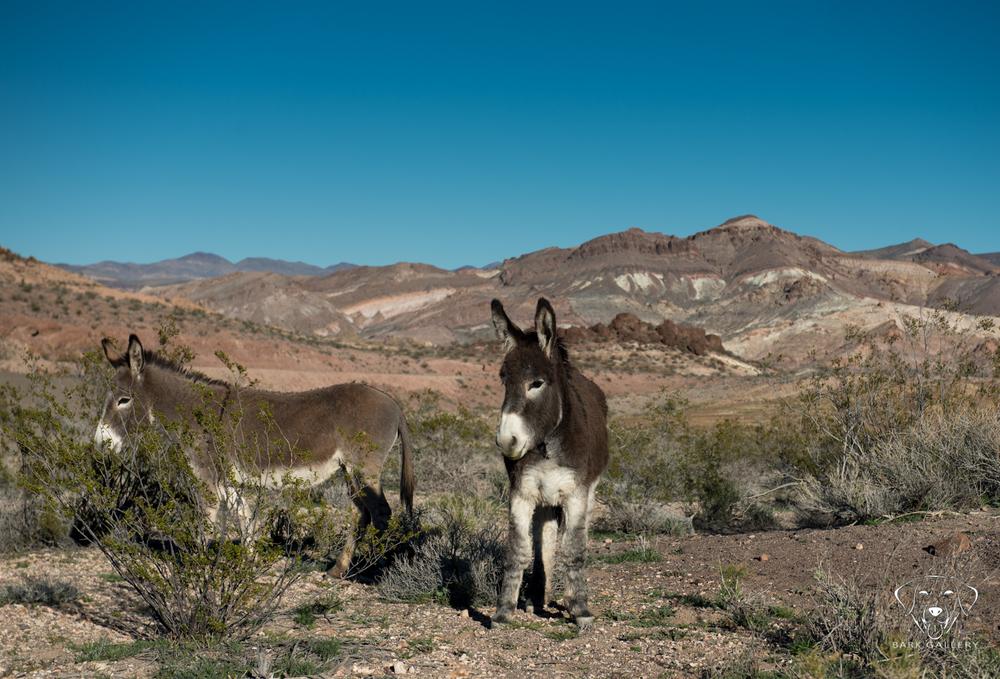 Wild Burros near Rhyolite, NV.