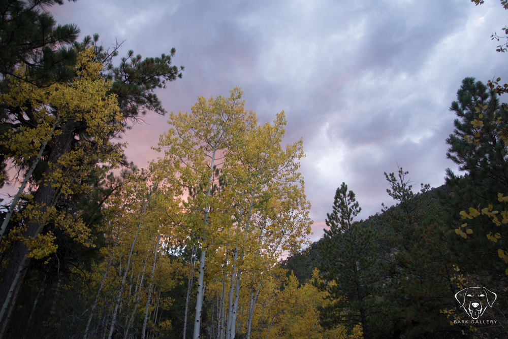aspen-trees-photography
