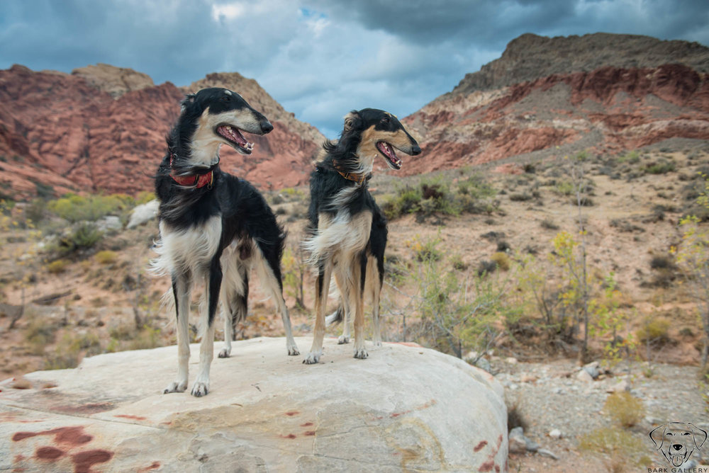 Borzoi- Red Rock Canyon Pet Portrait