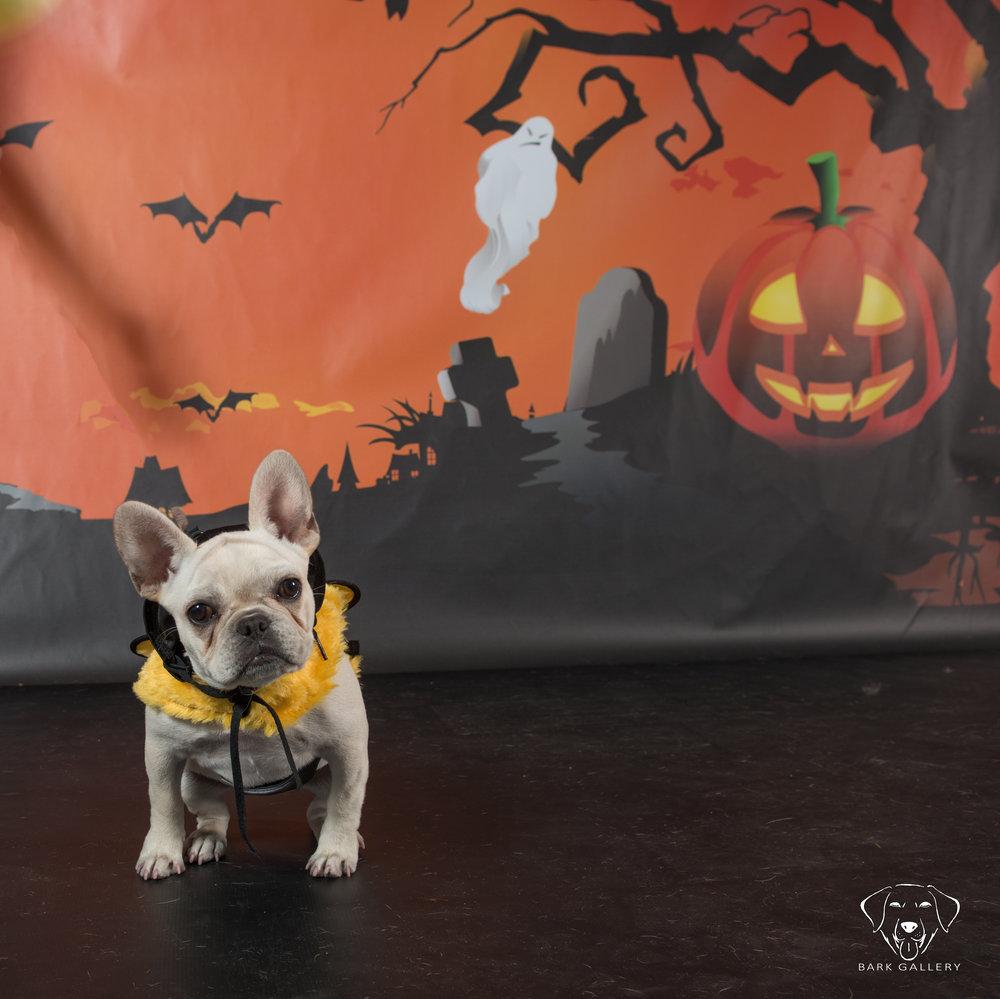 bulldog-backdrop-bark-gallery