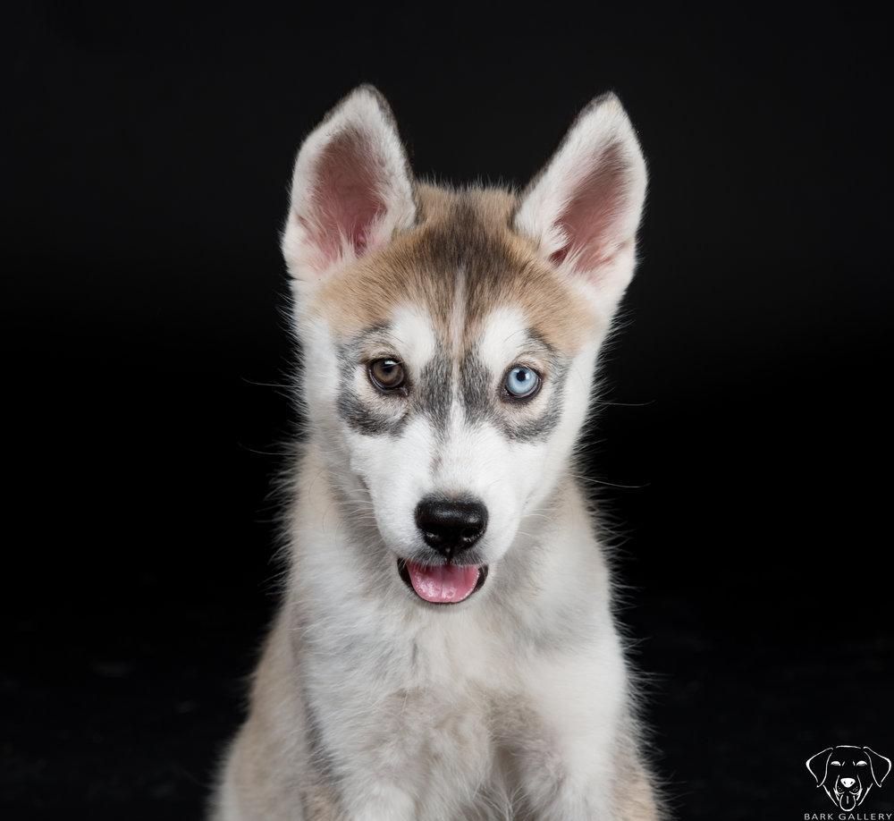 Dew-husky-dog-photo