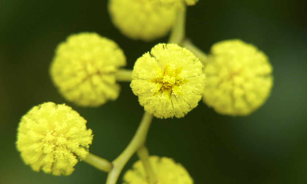 Why The Wattle The Golden Wattle Flag