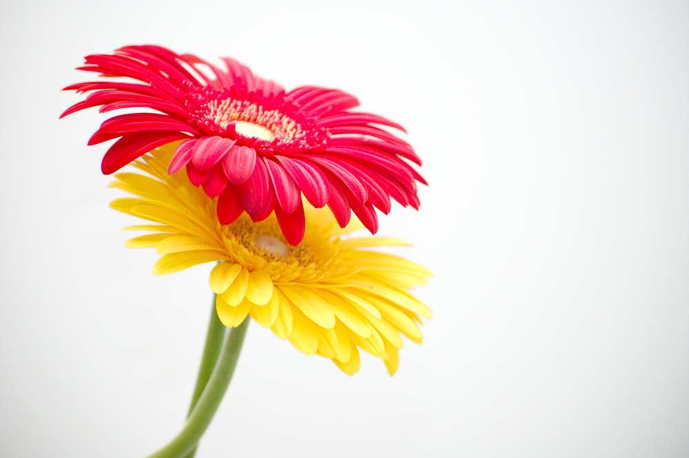 yellow&red gerberas.jpg