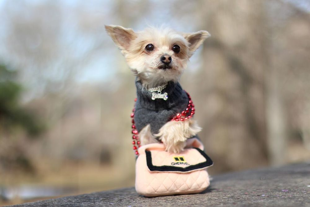 Ella Bean in CanineStyles sweater, collar and handbag.