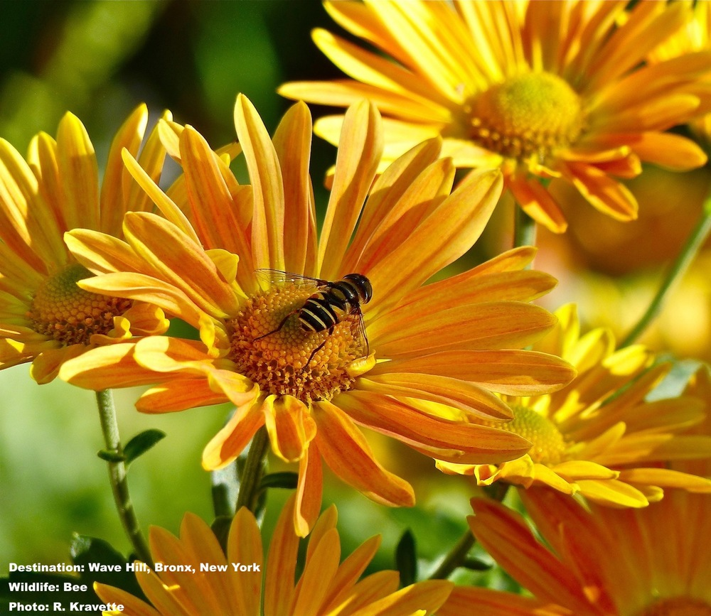 A bee enjoys some of the Wave Hill's final summer flowers. IMAGE: ©R. KRAVETTE