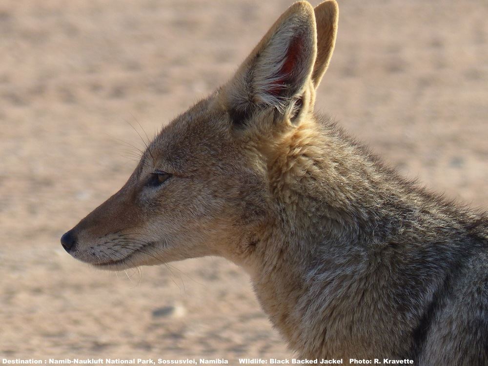 Black backed jackel are common, curious, and adorable at Sossusvlei. But be responsible - Do not feed them Image: ©R. Kravette