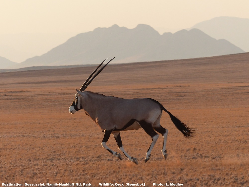 Wild oryx running on the flat lands inside the entrance to Sossusvlei - Photo by L. Medley