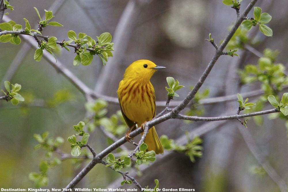 "Do you think he's a ""cute bird""? Or did you get up a 4AM, grab binoculars, camera & species app specifically to find, identify and life-list him?  In either case this yellow warbler is one of  41 types of warbler found in New York State. Image: ©Dr. Gordon Ellmers"