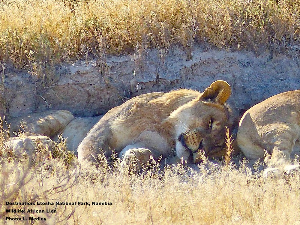 You love the big cats, but you saw some earlier when it the temperature was perfect, so just how long are you willing to endure the broiling heat and discomfort - to watch a couple of young males nap in a sliver of shade?  Etosha National Park, Namibia
