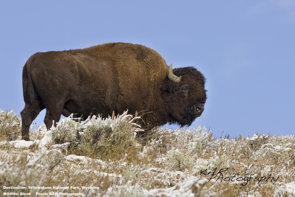 Bison are great, but after an early winter morning wildlife hike in Yellowstone you are happy to be headed back to the warm, comfy lodge.  But you did see bison, perhaps the most iconic wildlife image of the American West. Image: Thanks to ©KAR Photography