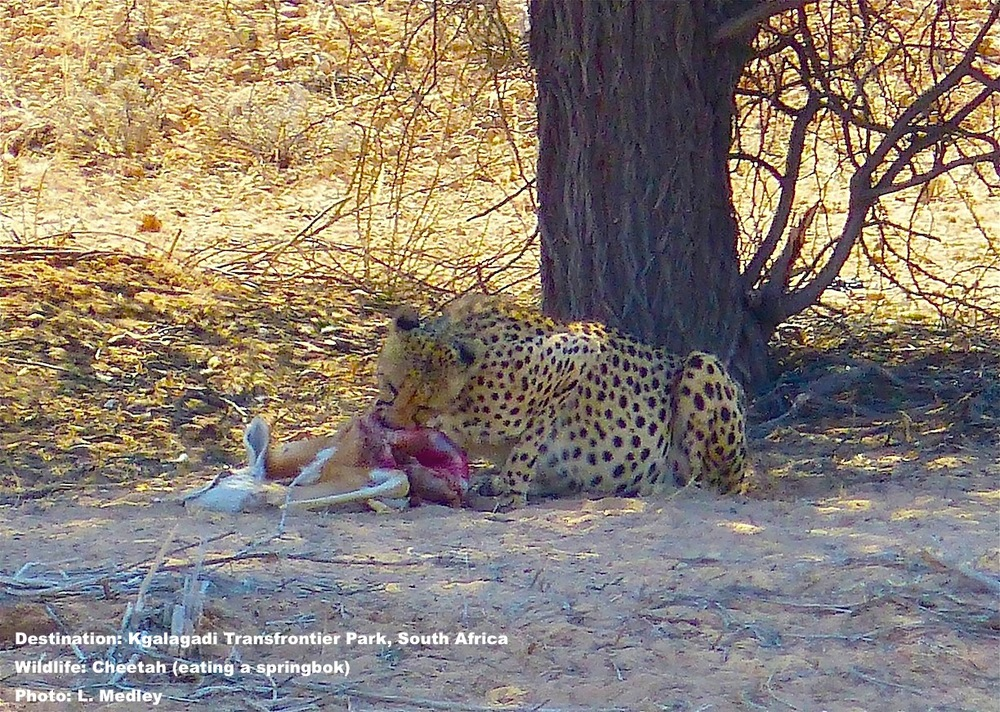"Do you see this as an opportunity for the ultimate face book ""selfie with wildlife"" post? Are you wondering who got caught on the wrong end of lunch? Or are you scanning with binoculars to calculate the cheeta's age and condition? Image: ©L.Medley"
