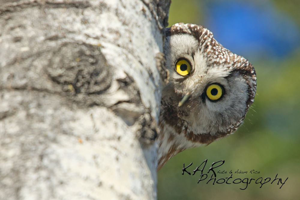 Who's watching who? A boreal owl peaks at his photographers. Image: Thanks to ©KAR Photography.