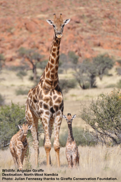 Look for light or smokey color large notched patches on Angolan giraffes. Twin calves are very unusual for giraffes. When they do occur, usually only one will survive. This is a good mama. Image: ©Julian Fennessy with thanks to Giraffe Conservation Foundation
