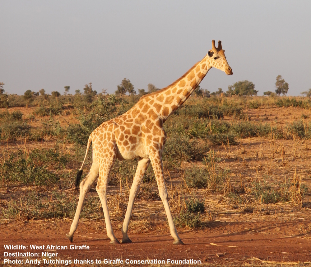 The endangered West African giraffes live outside of protected areas near villages close to Niger's capitol city of Niamey.  Image: ©Andy Tutchings with thanks to Giraffe Conservation Foundation.