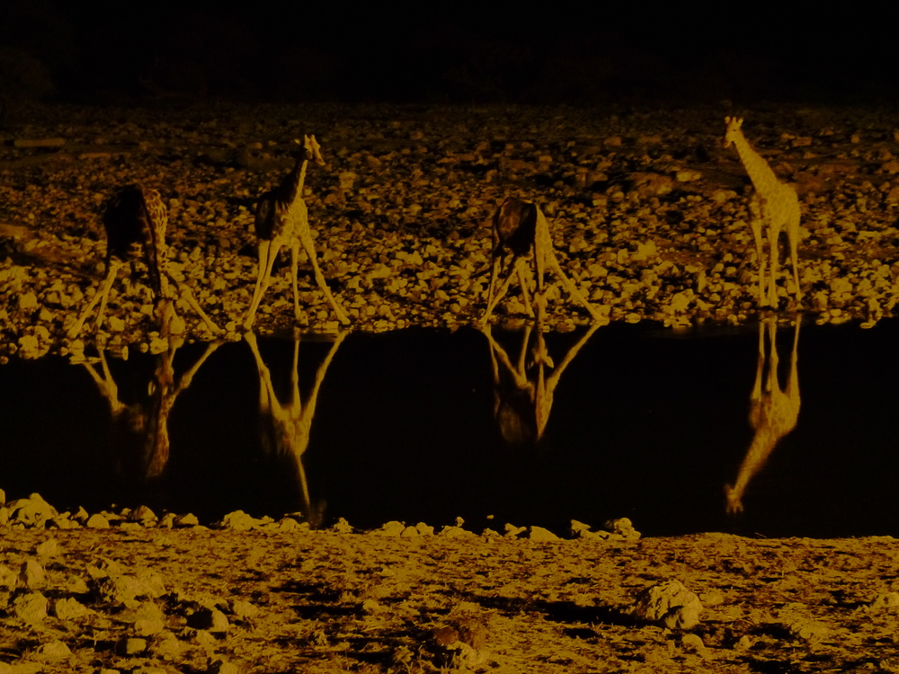 Etosha National Park's famous Okaukuejo water hole is flood lit at night. settle in on one of the comfortably placed benches to watch night-active giraffe herds come for their evening drink. Image: ©L. Medley for Destination: WIldlife