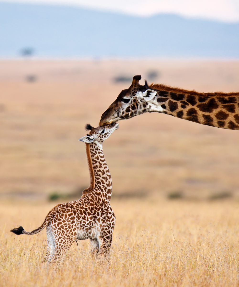 New born giraffes are up on wobbly legs minutes after being born, but in many populations, only 50% will survive to adulthood.