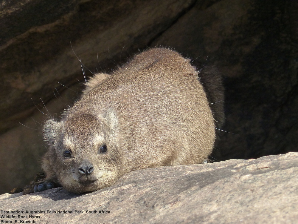 THE LITTLE ROCK HYRAX (4-9 POUNDS / 2.5-4 KG) IS THE ENORMOUS ELEPHANT'S CLOSEST LIVING RELATIVE. IMAGE:  L.MEDLEY FOR DESTINATION: WILDLIFE  AUGRABIES FALLS NATIONAL PARK, SOUTH AFRICA
