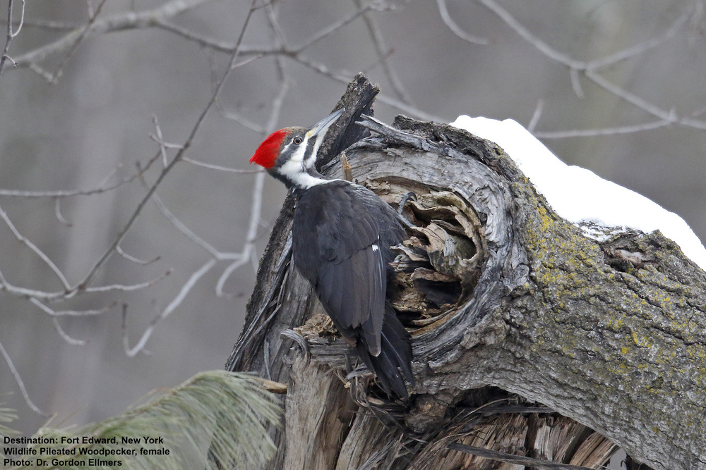 This is a female Pileated Woodpecker, Note the grey stripe, not red, on her cheek.