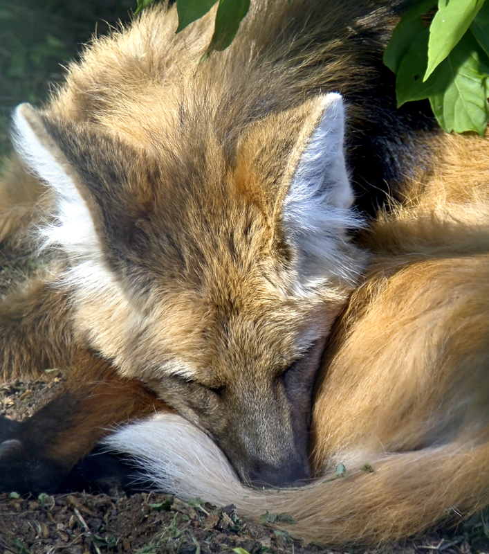Do not disturb.  But do go see these wonderful, gentle, fruit loving,  foxes-on-stilts. Image:  ©Starper⎮dreamstime.com