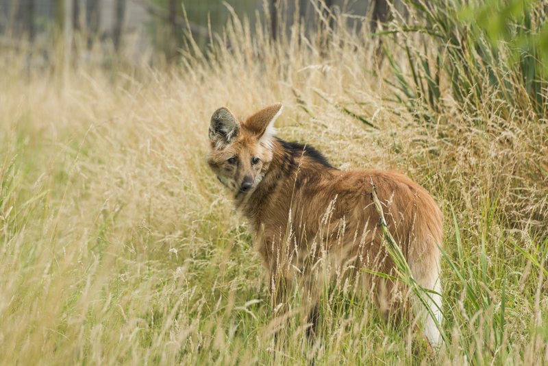 "Nestled between the rain forest, the Atlantic forest and the Pantanal, the Cerrado is one of the most biodiverse regions on the planet. It is home to maned wolf, a ""fox-on-stilts"" with long legs evolved to see over tall grass. Unfortunately, their home is disappearing even faster than the rainforest that boarders it. Image:  ©Beataaldridge⎮Dreamstime.com"