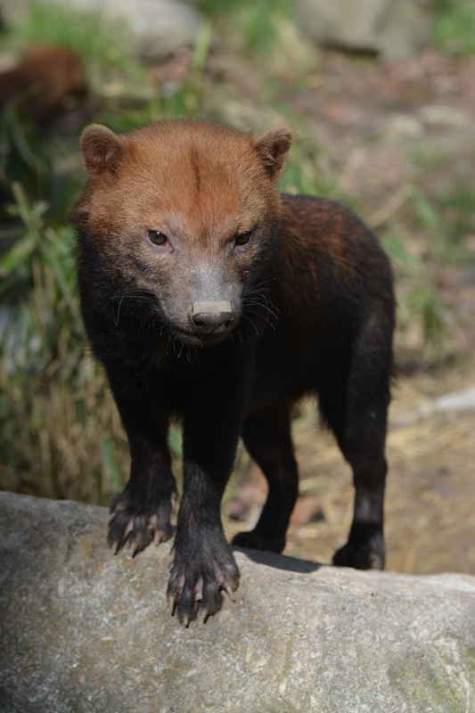Bush dog is the closest living relative to the maned wolf and also found in wet, grassland savanna, but rarely seen or caught even by camera trap. Image:   ©Franzisca ⎮ dreamstime.com