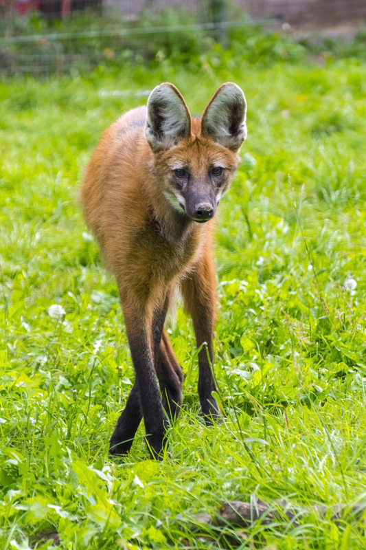 Maned wolf is a solitary animal, although they mate for life and share overlapping territories, the pair only come together at the breeding season. Image:  ©Belizar dreamstime.com