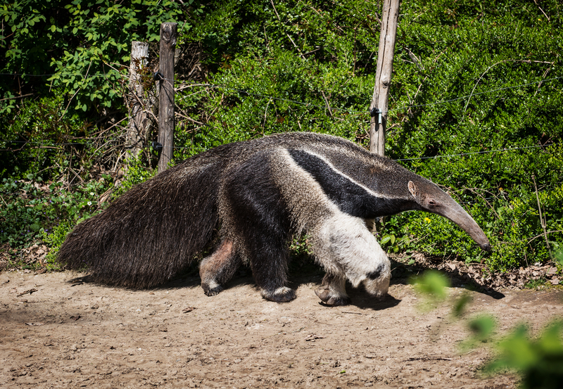 Giant anteater (IUCN Red List: Vulnerable) can grow up to 7 feet long (2.2 mters) and consumes up to 30,000 insects in one day! Unfortunately, their numbers have declined 30% in the last 10 years. Image:  ©Vrabelpeter1⎮Dreamstime.com