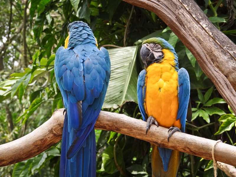 Do not forget the birds! Beautiful blue and yellow macaws are found in the Pantanal  Image:  ©Ivan Soares Cana⎮Dreamstime.com