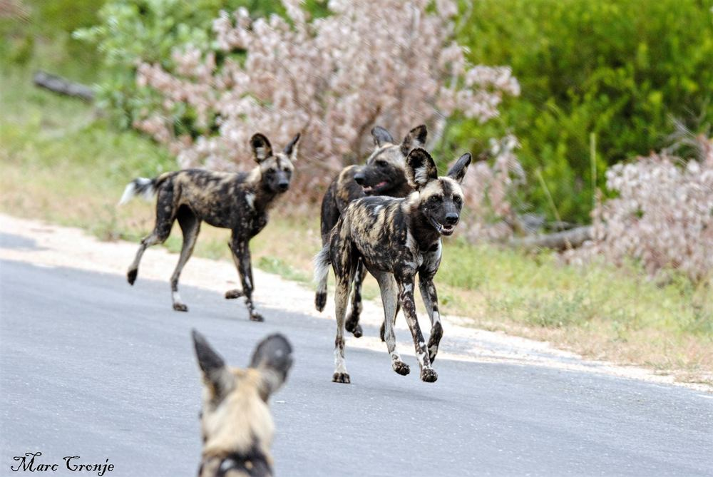 Painted dog hunting party near Afsall in Kruger National Park, South Africa.  Image thanks to ©Marc Cronje, Independent Field Guide, Kruger National Park, South Africa