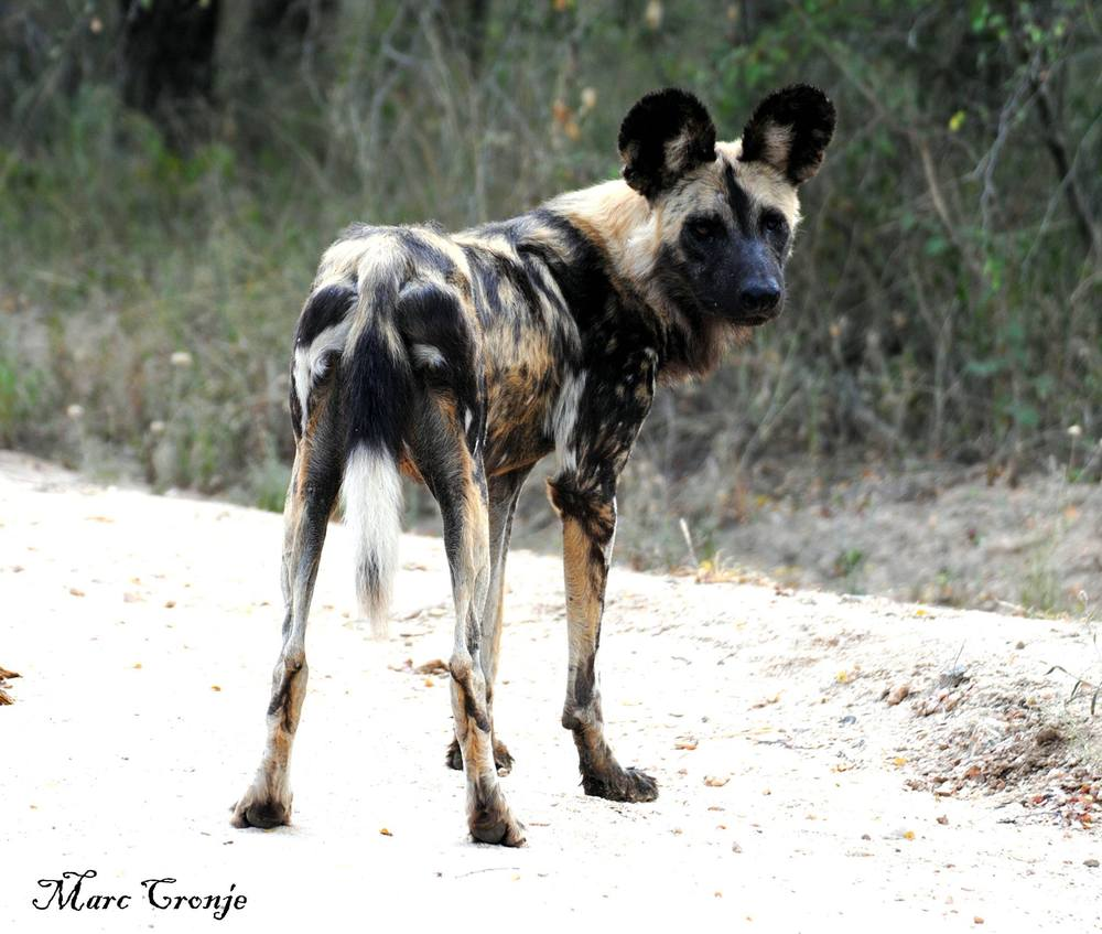 "Don't let this be 'good-by"" to painted dog - seek them out and send us your adventures!  Image: Thanks to ©Marc Cronji, Independent Field Guide.  Destination: Kruger National Park, South Africa"