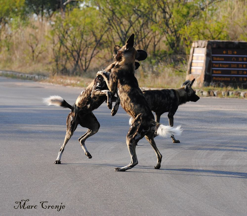 Before a hunt, painted dogs get each revved by jumping around, playing. teasing, whining, and making other excited noises. Kruger National Park. Watch the video below and be sure your sound is turned up. Image: Thanks to ©Marc Cronje, Independent Field Guide