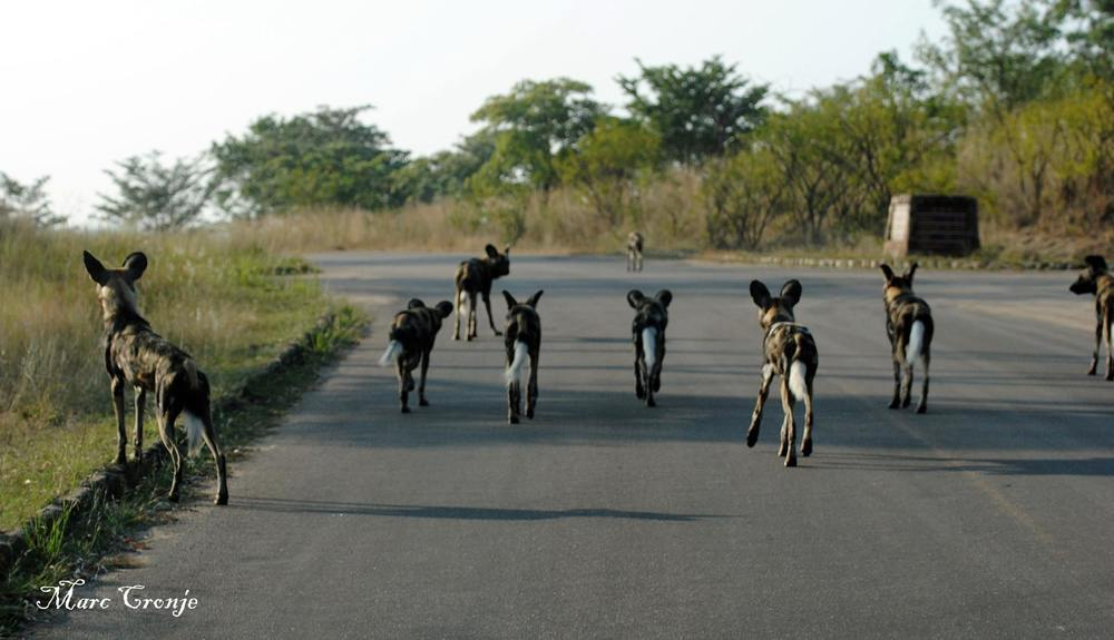 These dogs are fast. Long legs and large lungs help them run at speeds up to 37 mph (60 km/h) for three miles (5 km) Destination: Kruger N.P. South Africa  Image: Thanks to ©Marc Cronje, Independent Field guide, African Wildlife Specialist.