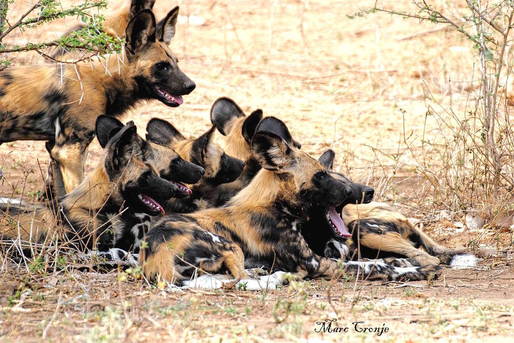 Social and extremely dependent on each, painted dogs are also the only known species to actively care for their sick and weak pack mates. Destination: Kruger National Park, South Africa. Image: Marc Cronje, Independent Field Guide.