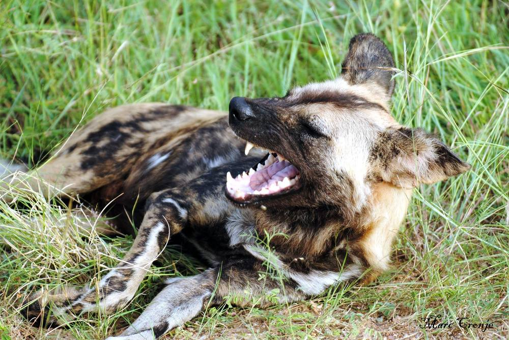 "He may look ferocious but he is only playing with pack mates. Painted dog's jaws are comparatively weak - unable to make the ""kill"" bite of most predators. Image: Thanks to ©Marc Cronje, Independent Field Guide.  Destination: Kruger National Park, South Africa."