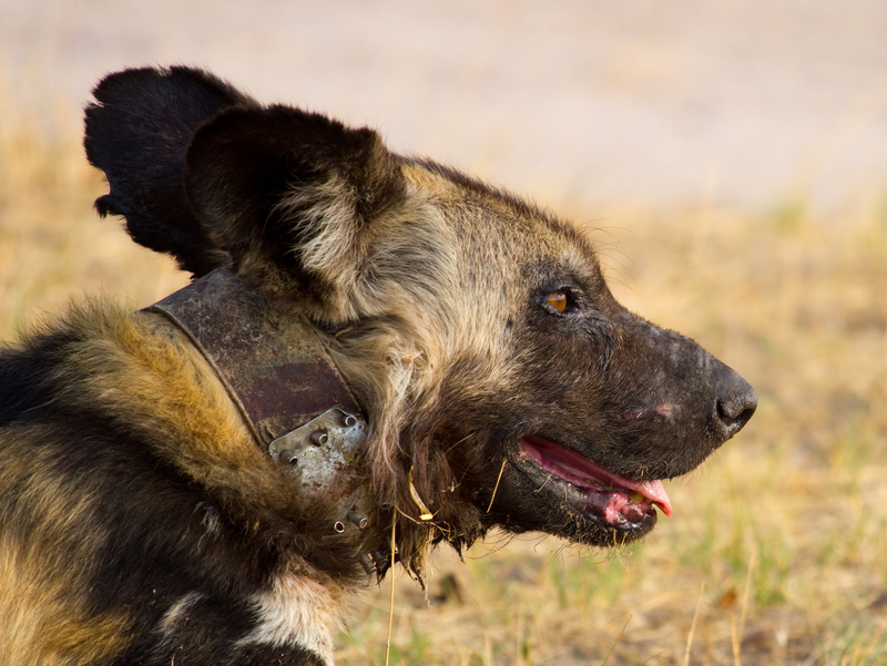 Panted Dog Conservation in Zimbabwe uses collars to chart these wide ranging animals. They work with local people to instill a sense of connection between the community's well-being and that of the wildlife surrounding it.  Image: ©Paualfrenchp ⎮dreamstime.com