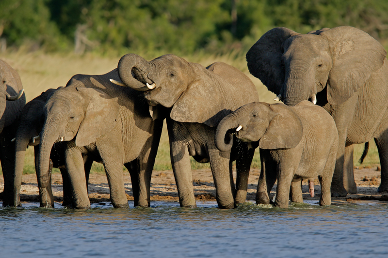 Hwange National Park, Zimbabwe is famous for their elephants. Unfortunately, they roam outside the park where they are not protected.  Image:© Ecofoto dreamstime.com